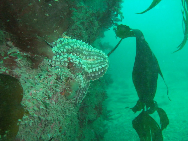 schullstarfish
