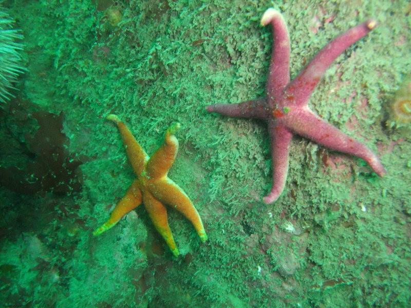 schullstarfish2